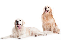 2 golder retriever dogs on white