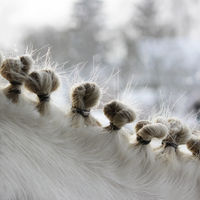 hairstyle on the neck of a piebald horse in the form of several tails taken with elastic bands in the eyelets. in the winter on the street. horse fashion