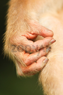 Pig-tailed Macaque-Schweinsaffe-Malaysia