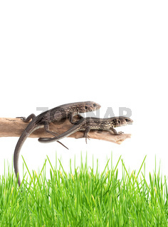 Lizards on a tree isolated on white background