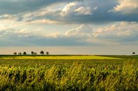 Rows of young green plants on a fertile field with dark soil in warm sunshine under dramatic sky