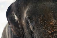 Face of asian elephant