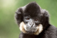primate gibbon (Nomascus gabriellae)