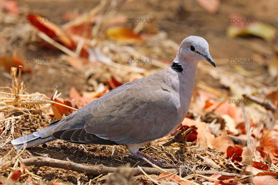 Kapturteltaube, Südafrika, cape turtle-dove, South Africa, Streptopelia capicola