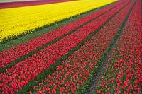 Anbau von Tulpen zur Gewinnung von Tulpenzwiebeln, Bollenstreek, Noordwijkerhout, Niederlande