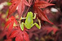 green tree frog climbing on japanese maple in a botanical garden ( Hyla arborea )