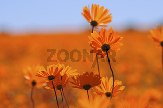 Daisies, Skilpad Nature Reserve, Südafrika