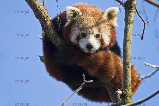 Kleiner Panda oder Katzenbaer (lat: Ailurus fulgens, en: Red Panda)