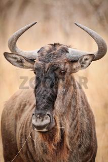 Streifengnu, blue wildebeest, Connochaetes taurinus, Südafrika, Kruger Nationalpark, South Africa