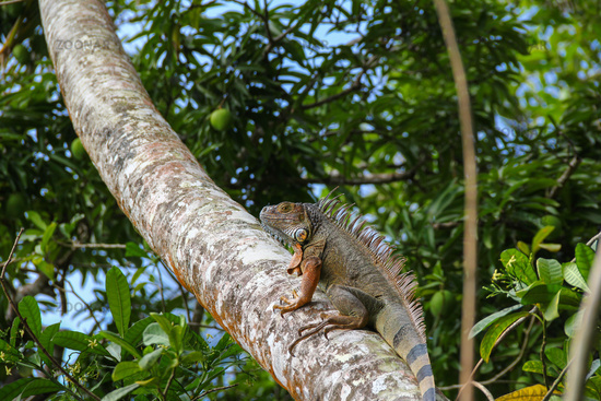 The lizard goes up in the tree