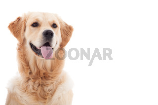 Portrait of golder retriever