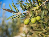 Mehrere grüne Oliven am Zweig eines Olivenbaums in Kroatien