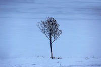 lonely tree in a vacant lot in the morning in a dense fog.
