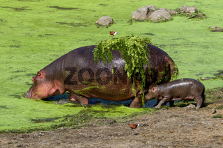 An hippo and her baby in the Kruger National Park South Africa-2.jpg