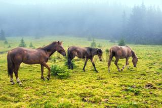Herd of running brown horses