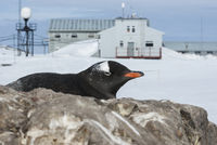 Portrait of Gentoo penguin on a background of Antarctic research station