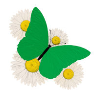 Green butterfly with four chamomile