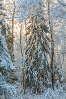 Spruce trees with snow and frost in a winter landscape