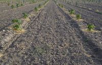 Paulownia Plant Field