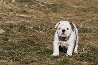 Small puppy of english bulldog running outdoor