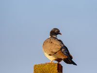 Close up of a dove on a chimney against the sky