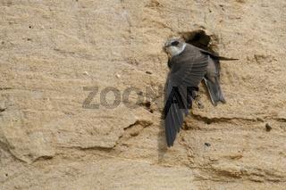 Halt in der Sandwand... Uferschwalbe *Riparia riparia* im Eingang ihrer Bruthöhle
