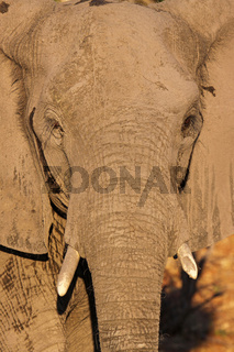 Porträt, afrikanischer Elefant (Loxodonta africana) im Abendlicht im Chobe Nationalpark, Botswana