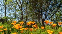 California Poppies on a Sunny Day