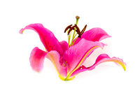 One pink lily flower isolated on white