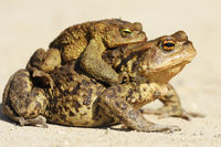 common brown toads mating in spring