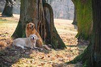 Portrait of a two dog (golden retriever)