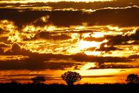 Namibia, Keetmanshoop, Quiver Tree, Köcherbaum
