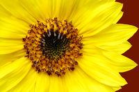 Yellow Sunflower Closeup