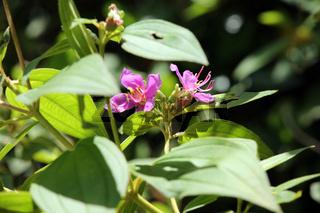 Indischer Rhododendron,Singapur-Rhododendron (Melastoma malabathricum)