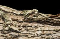 Sich tarnender Gecko Uroplatus sikorae (Gekkonidae)