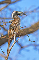 Männlicher Grautoko, Kruger NP, Südafrika, male African Grey Hornboll, Kruger NP, South Africa
