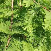 Zweige des Urweltmammutbaums, Metasequoia glyptostroboides