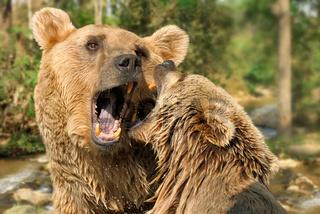 Zwei Braunbären beim Kämpfen in der Natur