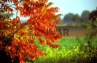 Essigbaum im Herbst - Rhus hirta