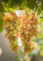 Bunches of grapes growing on vines