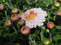 Chrysanthemum Indicum-Hybride 'Julia'