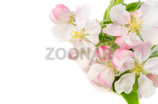 Branch of a blossoming apple-tree on a white background, close-u