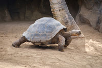 huge galapagos tortoise