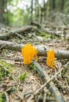 orange coral fungi