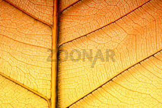 Dried orange leaf sceleton texture