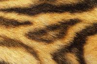detailed tiger fur