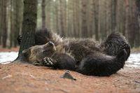 et' juckt... Europäischer Braunbär *Ursus arctos*