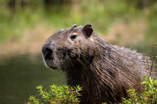 Close up of a Capybara, Pantanal, Brazil