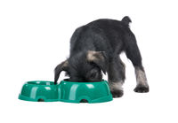 Mittelschnauzer puppy  isolated on white background eats from dog bowl