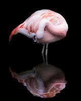 Chilean Flamingo VII
